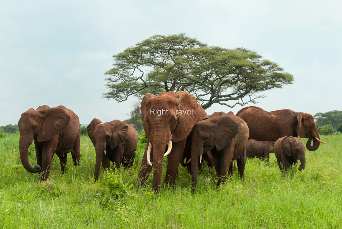 Elephant Herd Covered in Red Mud